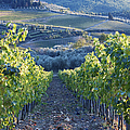 Vineyards by Jeremy Woodhouse