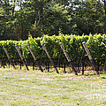 Vineyards by Leslie Leda