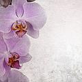 Vintage Orchids by Jane Rix