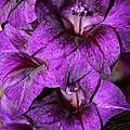 Violet Glads by Susan Herber