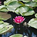 Water Lilies by Jennifer Ancker