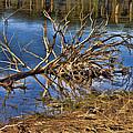 Waterlogged Tree by Douglas Barnard