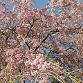 Weeping Cherry Tree In Bloom by Todd Gipstein