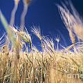 Wheat Field by Juan  Silva