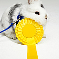 White And Black Rabbit On Blue Leash With Yellow Rosette by Michael Blann
