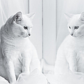 White Cat Reflected In Window by Vilhjalmur Ingi Vilhjalmsson