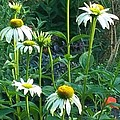 White Daisies And Garden Flowers by Thelma Harcum