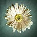 White Daisy by Tamyra Ayles