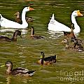 White Geese And Ducks by Harry Strharsky