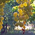 White Grapes by Barbara McMahon