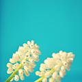 White Muscari Flowers by Photo by Ira Heuvelman-Dobrolyubova