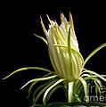 White Spikey Cactus Flower