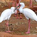 White Spoonbills