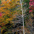 White Tree Fall Colors  by Rich Franco