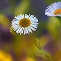 White Wildflower On Pastels by Bill Tiepelman