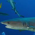 Whitetip Reef Shark, Papua New Guinea by Steve Jones