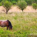 Wild Horse Grazing by Richard Thomas