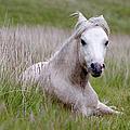 Wild Welsh Pony by Steve Hyde