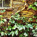 Window And Grapevines by HD Connelly