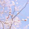 Winter Blossom by Jill Ferry