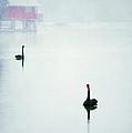 Winter Swans by Darren Fisher