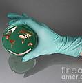 World Inside A Petri Dish by Photo Researchers