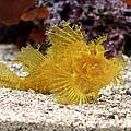 Yellow Eschmeyer