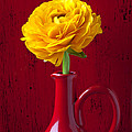 Yellow Ranunculus In Red Pitcher by Garry Gay