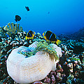 Yellowtail Anemonefish By Their Anemone by Alexis Rosenfeld