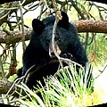 Young Black Bear by Will Borden