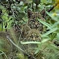 Young Bobcats by Michael S. Quinton