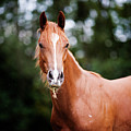 Young Brown Quarter Horse by Jorja M. Vornheder