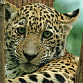 Young Jaguar Print by Sandy Keeton