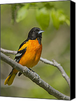 Oriole Canvas Prints - Baltimore Oriole Canvas Print by Mircea Costina Photography