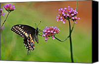 Karen Adams Canvas Prints - Black Swallowtail Butterfly  Canvas Print by Karen Adams