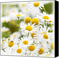 Wildflower Canvas Prints - Chamomile flowers Canvas Print by Elena Elisseeva