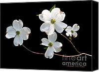 Blossom Special Promotions - Illumination Canvas Print by Barbara McMahon