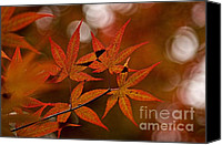 Peggy J Hughes Canvas Prints - Japanese maple Canvas Print by Peggy J Hughes