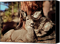 Mule Deer Canvas Prints - Mule Deer Doe Canvas Print by Eric Glaser
