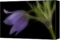 Pulsatilla Vulgaris Canvas Prints - Pulsatilla vulgaris Canvas Print by Liz Stott