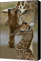 Captive Canvas Prints - Rothschild Giraffe Canvas Print by San Diego Zoo
