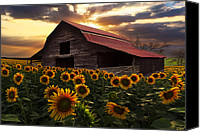 Debra And Dave Vanderlaan Canvas Prints - Sunflower Farm Canvas Print by Debra and Dave Vanderlaan