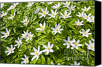 Thimbleweed Canvas Prints - Wood Anemone Canvas Print by Design Windmill