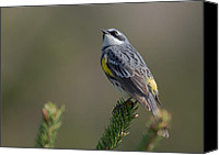 Michel Soucy Canvas Prints - Yellow Rumped Warbler Canvas Print by Michel Soucy