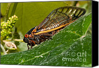 Cicada Canvas Prints - 17 Year Cicada 3 Canvas Print by Lara Ellis