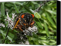 Cicada Canvas Prints - 17 Year Cicada Canvas Print by Lara Ellis