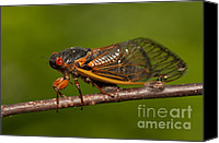 Invertebrate Canvas Prints - 17-year Periodical Cicada I Canvas Print by Clarence Holmes