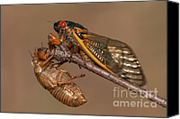 Cicada Canvas Prints - 17-year Periodical Cicada II Canvas Print by Clarence Holmes