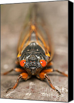 Invertebrate Canvas Prints - 17-year Periodical Cicada III Canvas Print by Clarence Holmes