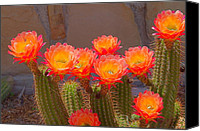 Garden Flowers Special Promotions - Cactus in Bloom Canvas Print by Bob Marquis 